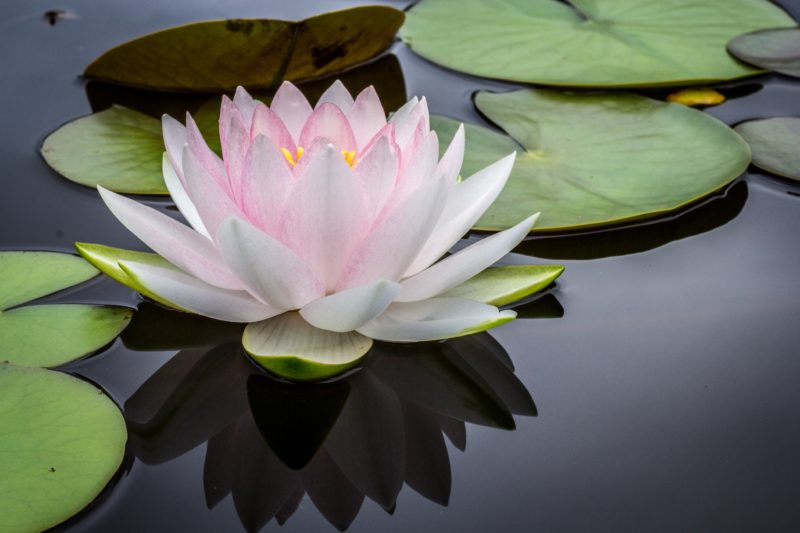 buddhism and psychotherapy waterlily